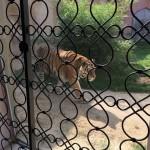angrenzendes Tiger-Gehege